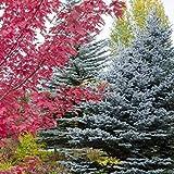 Farmerly Semillas Blue Spruce Tree (Picea glauca) Pungens 25 + Semillas