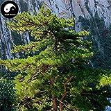SONIRY Germinación de Las Semillas: Comprar Pinus armandii Semilla Semilla Semilla de 100 Piezas Pinaster semilla de Pino Hua Shan canción