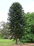 Tree Seeds Online - Araucaria Araucana - Mono Puzle. 3 No Latente Semillas - 10 Paquetes