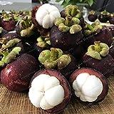 Bloom Green Co. 20 Piezas de Garcinia Mangostana Bonsai Ãrbol de Hoja perenne Familia Clusiaceae Mangostán Pãºrpura Fruta Bonsai 95% Fruta de Jardãn