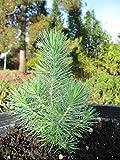 TOMHY Las Semillas del Paquete: 2X: 2XSeed esquejes Pinus Pinaster Pinus pinea Piedra Pino Pino piñonero