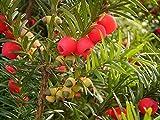 FERRY Germinación de Las Semillas: Inglés tejo, Taxus baccata, Semillas de Semillas (Evergreen, Topiary, Bonsai) 10Pcs
