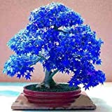 DNelo Semillas Plantas Semillas 30Pcs Árbol de Arce Japonés Acer Palmatum de Plantas de Jardín Bonsai Decoración - Semillas Azul Oscuro Árbol de Arce