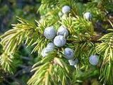 Portal Cool 100 Semillas de enebro árbol X comunes (Juniperus communis) Las Semillas del árbol del arbusto