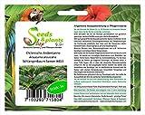 5 Chile Chile Araucaria araucana serpiente pino semillas #413
