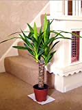 Large Traditional Evergreen House Plants in Pot - Yucca