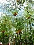 Tropica - Plantas Acuáticas - Papiro Egipcio (Cyperus papyrus) - 15 Semillas
