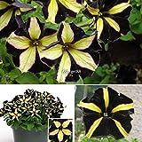 Pinkdose 30 Semillas: Inglés tejo, Taxus baccata, semillas de árboles (Evergreen, Topiary, Bonsai)