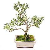 Outdoor Bonsai - Serissa foetida variegata - June snow - Tree of the 1000 stars 15cm