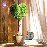 Inicio 20PCS jardín de plantas, semillas de Bonsai de boj, repelente de insectos, una buena opción para las familias absorber el formaldehído árbol en maceta 1