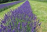 Asklepios-seeds® - 1000 graines de Lavandula officinalis, Lavande officinale, Lavande vraie, Lavande à feuilles étroites