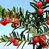 Portal Cool 10pcs Semillas de árbol de Tipo Inglés: Semillas de baccata de taxus árbol de Tipo Inglés Fruta roja bonsáis decoración del jardín de casa Sorpresa