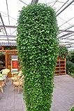 Vendedores calientes 100pcs Semillas Semillas de herradura de oro Jade Pequeña cascada dinero Hierba Diaolan Bonsai Home Garden