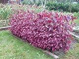 Gartenmelde Rot - Spanischer Salat - Spanischer Spinat - 100 Samen