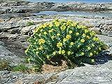 Asklepios-seeds® - 100 Semi di Rhodiola rosea La rodiola rosa