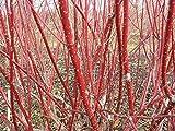 Shoopy Star 30 Semillas: Inglés tejo, Taxus baccata, semillas de árboles (Evergreen, Topiary, Bonsai)