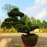 20 PC / bolso semillas de pino negro semillas verdes árboles bonsai planta de Pinus thunbergii Parl para el jardín de plantas leñosas perennes rectas 4