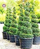árboles de Navidad 30pcs semillas Semillas Deodara Cedar cedro del Himalaya Cedrus Deodara World Tree raro árbol Bonsai Inicio Jardín de plantas