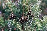 Portal Cool Las Semillas del Paquete: Pinus sylvestris - Pino Silvestre, Semillas de 9 cm Pot