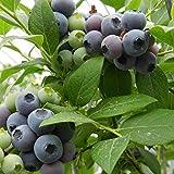 Rosepoem 30pcs Vaccinium Blueberry Vaccinium semillas de plantas de hoja perenne de fruta Para el hogar