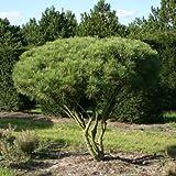 Pino rojo japonés Pinus Densiflora - 20 + Semillas