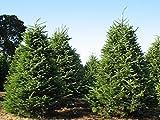 30 semillas - bálsamo de abeto, Abies balsamea, semillas de árboles (Hardy fragante hoja perenne, bonsai)