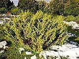 Portal Cool Juniperus communis Pot Marco 1 Planta Juniper, Juniper Común Cedar Smooth