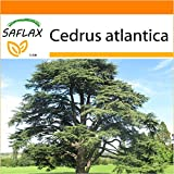 SAFLAX - Garden in the Bag - Cedro azul del Atlas - 20 semillas - Cedrus atlantica