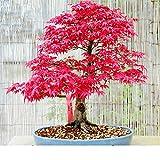 MOCRIS 50 Piezas de Semillas de árbol de Arce Japonés Jardín Decoración del Hogar Bonsai