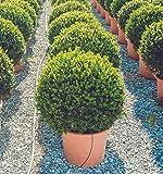 Portal Cool 100pcs Mini boj Semillas Flores Bonsai en maceta Plantas decoración del árbol bricojardín