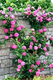 Bee Garden Beautiful Purple Climbing Rose Flower Seeds Very Easy To Grow In Any Season