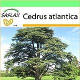 SAFLAX - Garden to Go - Cedro azul del Atlas - 20 semillas - Cedrus atlantica