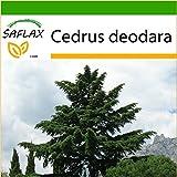 SAFLAX - Cedro del Himalaya - 35 semillas - Con sustrato - Cedrus deodara