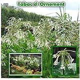 300 graines de TABAC d'ORNEMENT Géant fleur annuelle