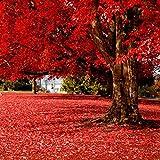 Inkeme Seed House - Semillas de plantas de paisaje de semillas de árbol de arce rojo perenne Semillas
