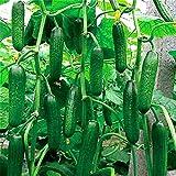 Pinkdose 200 Stück Gurkenpflanzen extrem frühe japanische Variety Freiland Wachsende Pflanzen Gemüse Hausgarten Bonsaipflanzen Flowe: Gelb