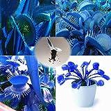 CIOLER Seed House - 50 pcs semilla Dionaea muscipula venus'atrapamoscas' (Planta Carnívora) Semillas plantas carnívoras
