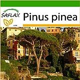 SAFLAX - Pinos piñoneros - 6 semillas - Con sustrato - Pinus pinea