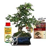 Gift set bonsai 'Carmona' - Fukientee - about 6 years old - beginner set