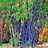 mymotto 100 unids Colorido bambú Semillas Bonsai plantación Home Garden decoración Semillas
