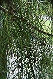 FERRY Germinación de Las Semillas: Cupressus macrocarpa 'saligna Aurea' 10 Semillas
