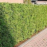 (500 semillas) Thuja occidentalis/Cedro Blanco del Norte/Tuya Oriental/cedro blanco/American Arborvitae