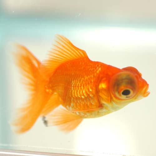 金魚 赤出目金 1匹 [生体]