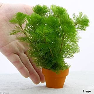 (水草)メダカ・金魚藻 カボンバ ミニ素焼き鉢(1個) 本州・四国限定[生体]