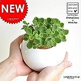 LAND PLANTS 【観葉植物】 アロマティカス (白色丸陶器鉢)