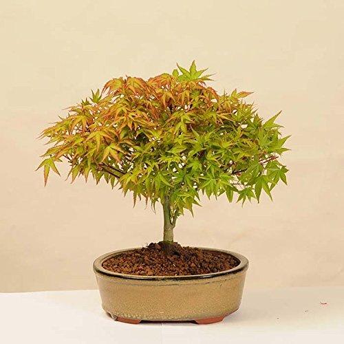 小品盆栽:清姫もみじ(陶器鉢)*