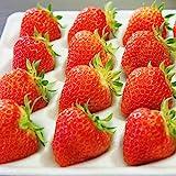 良食味の新しい夏イチゴ(秋田県産なつあかり) 2パック 600g (3L-S)