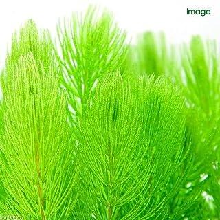 (水草)メダカ・金魚藻 マルチリングブラック マツモ ミニ(無農薬)(1個) 本州・四国限定[生体]