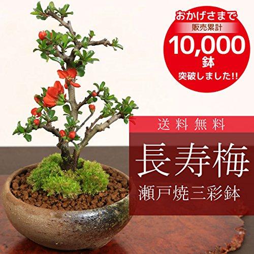 ミニ盆栽:長寿梅(瀬戸焼三彩鉢)*