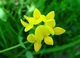Lotus corniculatus BIRDSFOOT TREFOIL Seeds!
